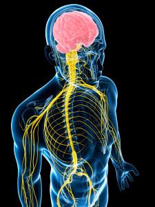 нервная система1